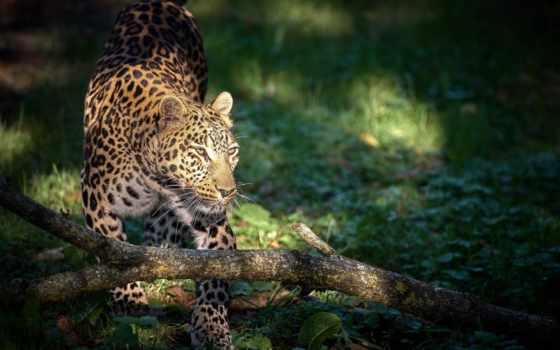 леопард, кот, african, you, телефон, pinterest, хищник,