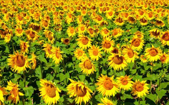 подсолнухи, sun, природа