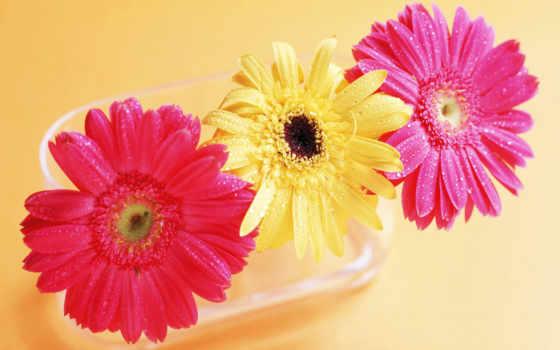 gerbera, цветы, герберы
