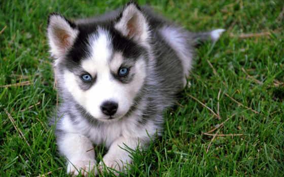 хаски, собака, щенок, pomeranian, самые, красивая, голубыми, породы, нереально,