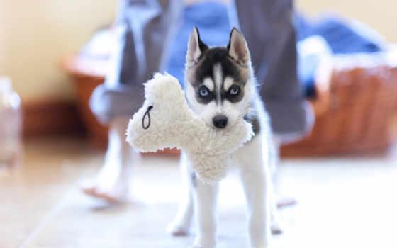 хаски, собака, щенок, browse, toy,