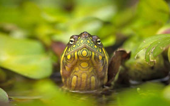 черепаха, red, eared, slider, фото, bing, you,