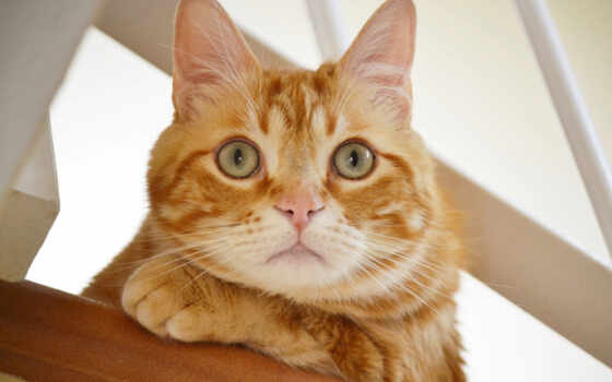 кот, смотреть, red, short, domestic, волосы, морда, лео, stokovyi, глаз
