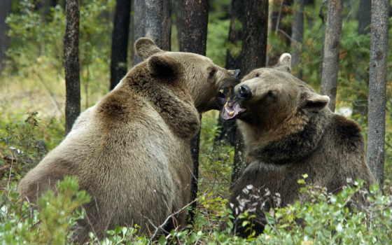 медведи, гризли, бурые, животные, медведь,