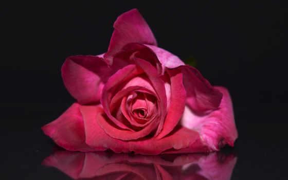 роза, розовая, розы, фоны, розовый, цветы, розовые, лепестки, бутон,