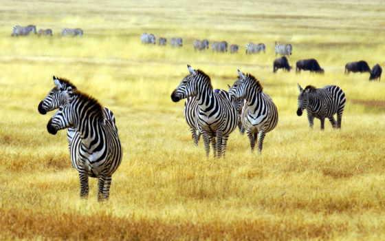 зебры, картинка, zhivotnye, животных, трава, зебр, sushi, зооклубе, парнокопытные,