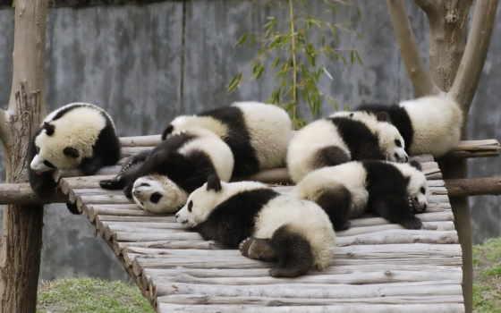 панда, панды, boo, кунг, широкоформатные, zhivotnye,