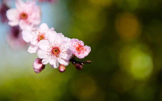 Сакура, макро, розовые, cvety, лепестки, веточка, branch,