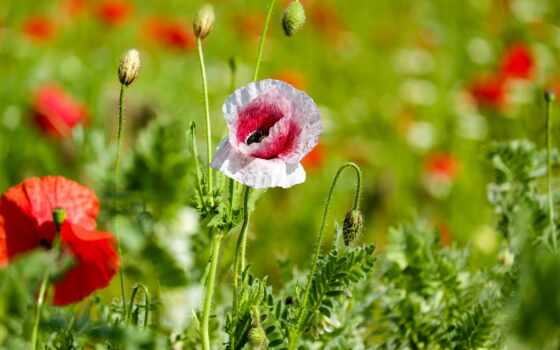 poppy, цветы, бутон, близко, folk, side, armenia, high, free, territory