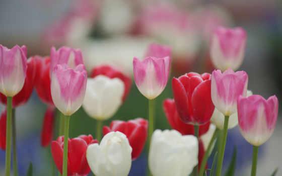 тюльпаны, цветные