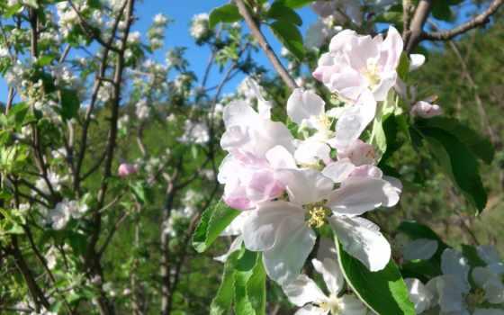 природа, весна, apple