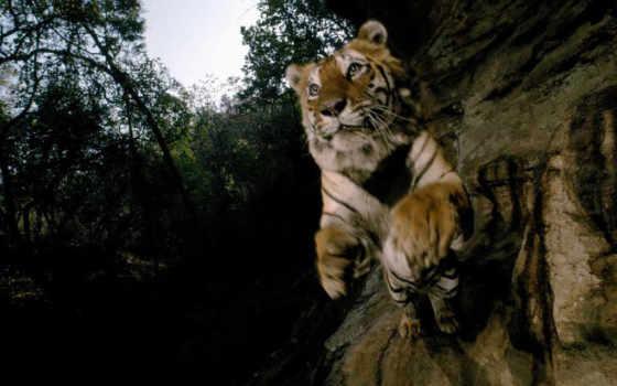 тигр, прыжке, тигры