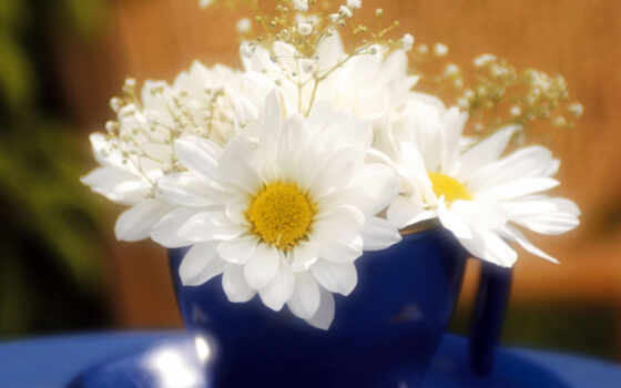 ромашки, цветы, красивые