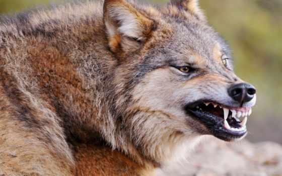 волк, ухмылка, хищник, морда, агрессия, волка,