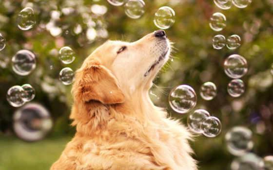 мыльные, пузыри, retriever, that, собаки, закат, кот, природа, чэмп, поле, очень,