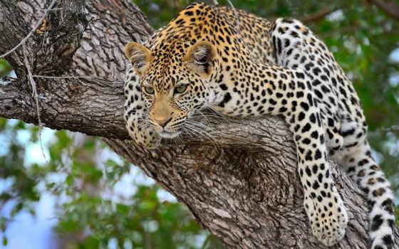 леопард, лес, хищник, дерево, скалах, out, jaguar, дерева, ствол, трава,