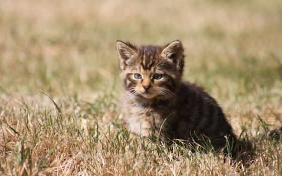 кот, gato, short, domestic, haired,