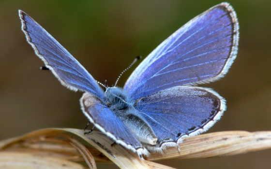 бабочка, blue, качество