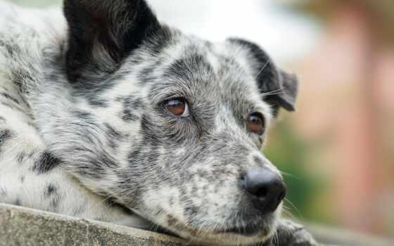 собака, глаз, друг, порода, vulnerable, туземец, грусть, глаза