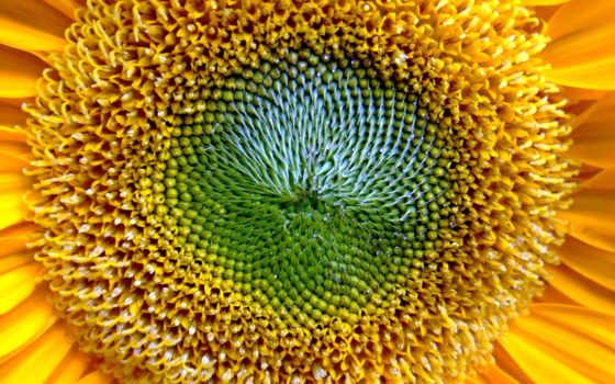 подсолнухи, растения, цветы