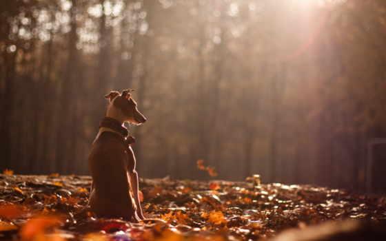 осень, собака, природа
