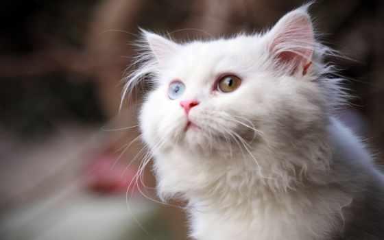 кот, глазами, white, свет, разными, кошки,