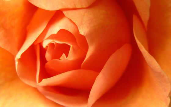 оранжевый, роза, roses, цветы, desktop, images, are,