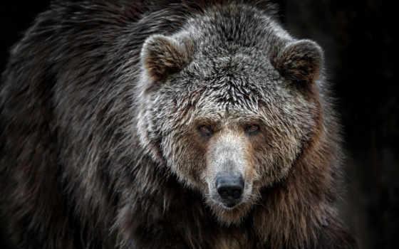 oso, fondos, панда, pantalla, pardo, grizzly, osos,