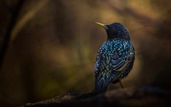 starling, птица,