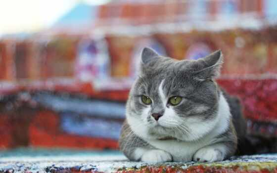 кот, манчкин, munchkin, upitat, ложь, wallbox, серый, kitty, тематика