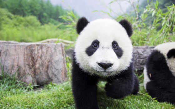 panda, baby