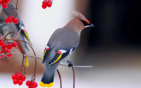 свиристель, птица, птицы