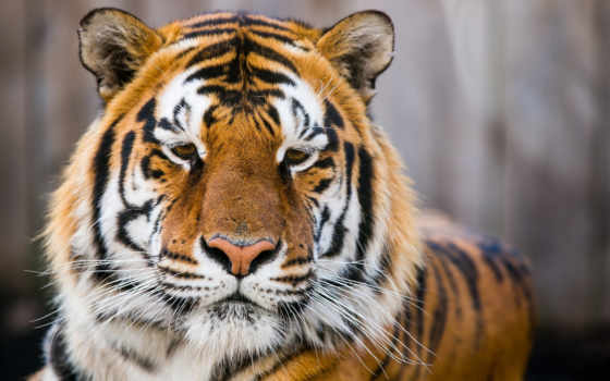 тигр, глаза, wild