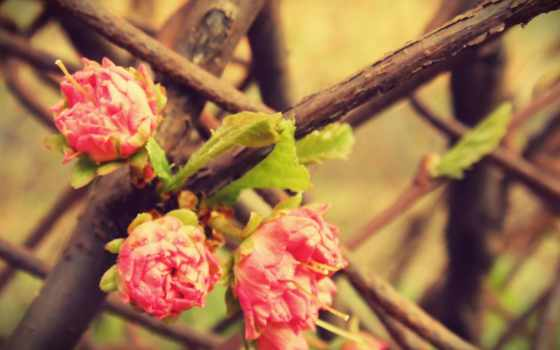 цветы, розовый, дерево, desktop, изображение, flowers, картинка, taustapildid, roses,