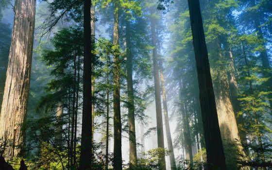 лес, summer, туман, свет, утро, awakening, страница, trees,