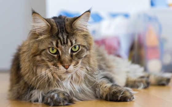 кот, мэн, кун, порода, breeds, cats, об, are,