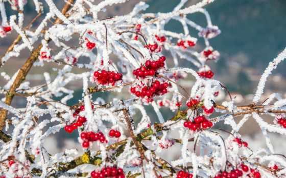 зимняя, рябина, сказ, winter, обоях, cvety, зимние, оставить, чтоб, дизлайков, лайков,