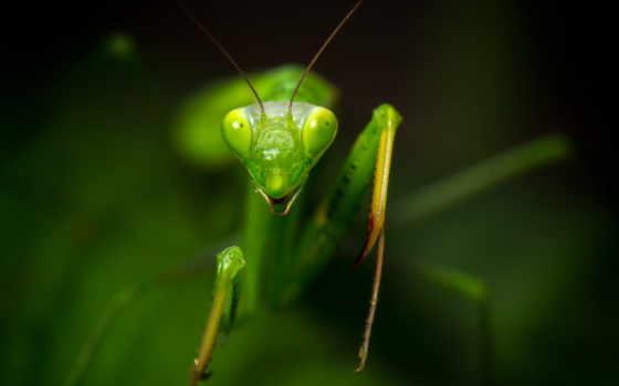 mantis, praying, website, рубашка, богомолов, best,