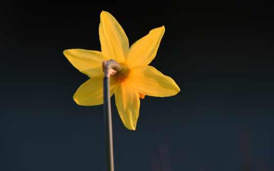 цветы, yellow, dark, пожаловаться, drop, makryi, narcissus, тюльпан
