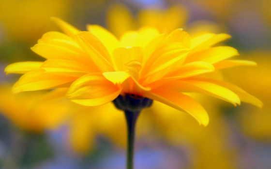 лепестки, желтый