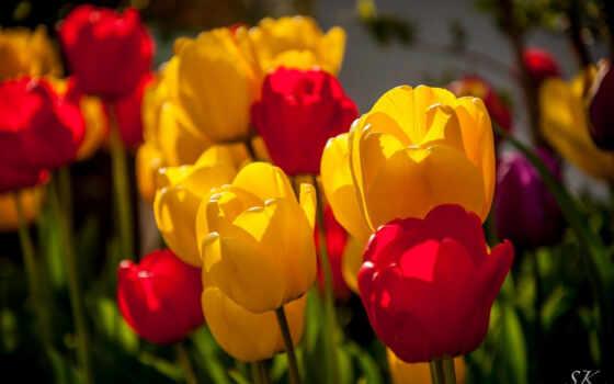 цветы, тюльпаны, красные