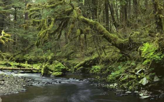 дерево, старое, деревя, покрыты, сухие, старые, зеленого, заросшее, старого, мха, слоем,