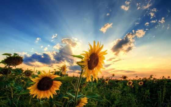 подсолнухи, поле, небо, summer, sun, красиво, oblaka, вечер, подсолнухов, pin,