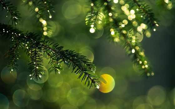 ёль, макро, branch, свет, иголки, блики, лесные, капли, колючки,
