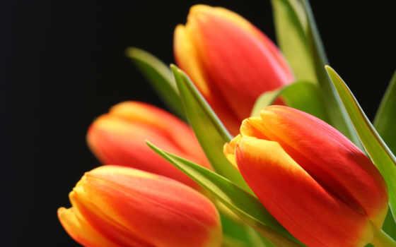 тюльпаны, сорта, оранжевые, черном, fone, мар, прочитать, целикомв, зелёная, цитата, rem,