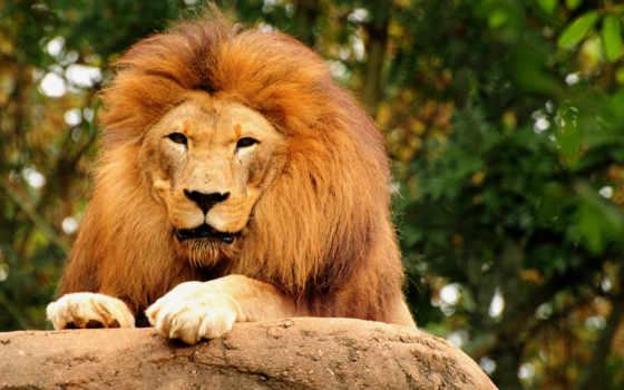 king, lion, зверей