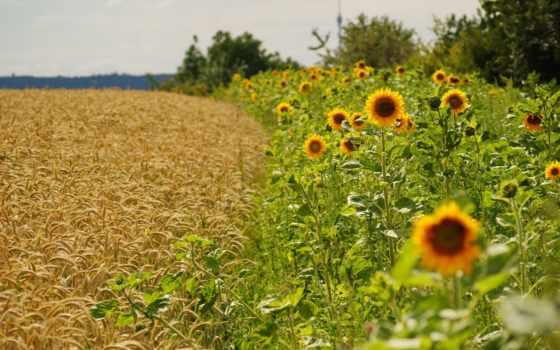 priroda, природы, cvety, совершенно, качества, категория, klassika, pole,