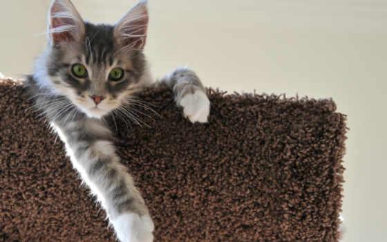 кот, серый, котенок