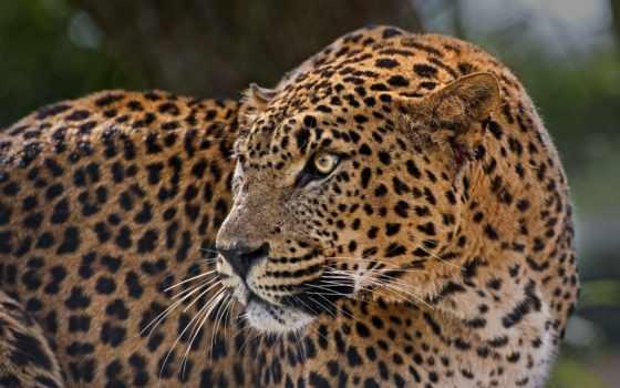 леопард, дикая, леопарды, хищник, кот, пятна, profile, zhivotnye, fondos, ecran,