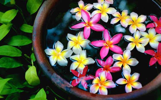 cvety, плюмерия, fonds, ecran, plumeria, fond, eau, розовые,